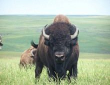 South Dakota Bison Hunt